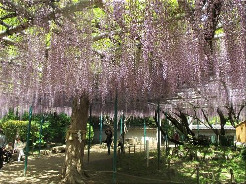 住吉神社 藤(ふじ)の花 1