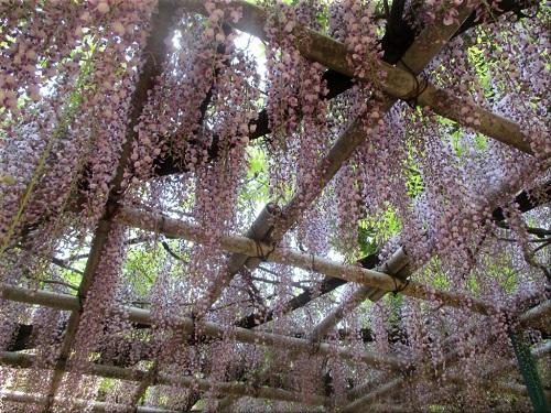 住吉神社 藤(ふじ)の花 3