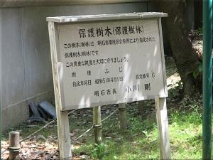 住吉神社 藤(ふじ)の花 4