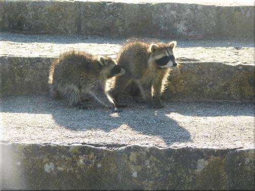 明石公園 アライグマ 10
