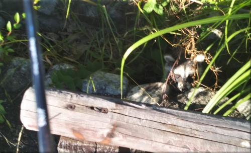 明石公園 アライグマ 2