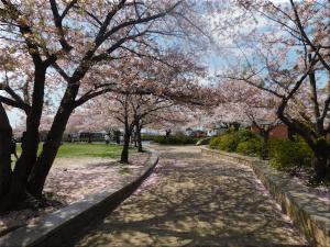 中尾親水公園 桜1