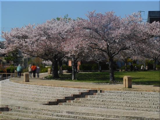 中尾親水公園 桜3