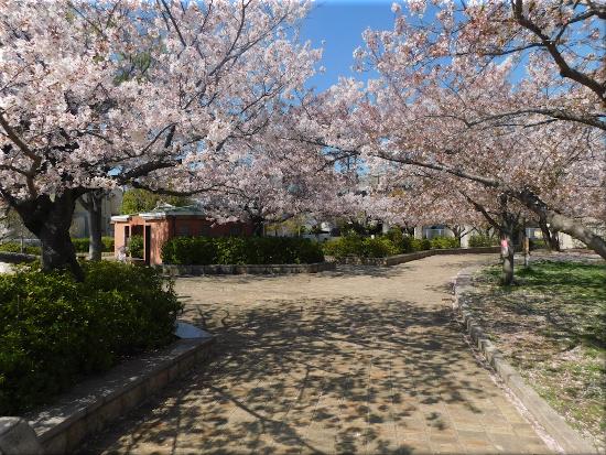 中尾親水公園 桜4