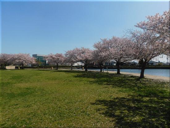 中尾親水公園 桜6