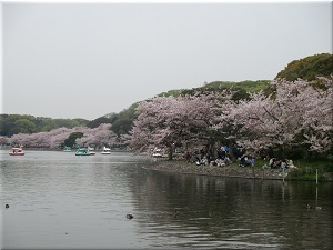 明石公園 剛の池と桜