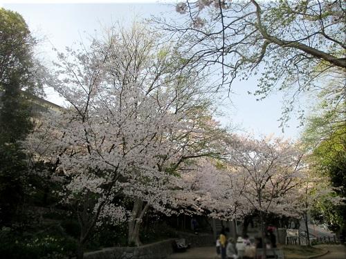 人丸山公園の桜 1