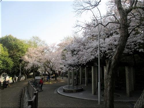 人丸山公園の桜 2