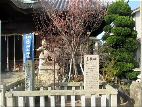 柿本神社の盲杖櫻 1