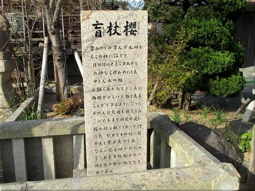 柿本神社の盲杖櫻 2