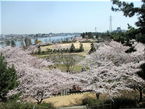 明石海浜公園の桜 1