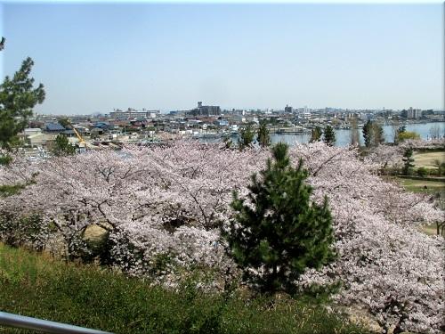 明石海浜公園の桜 2
