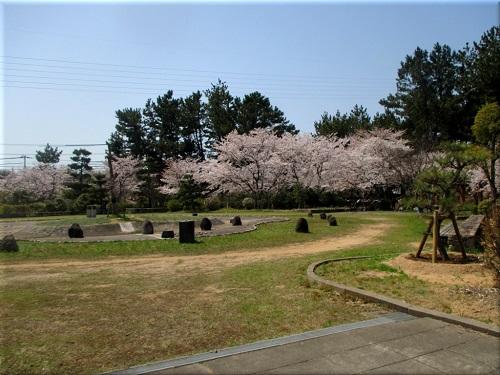 明石海浜公園の桜 3