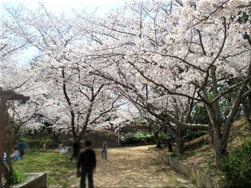 明石海浜公園の桜 4