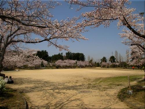 明石海浜公園の桜 5