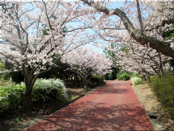 明石海浜公園の桜 6