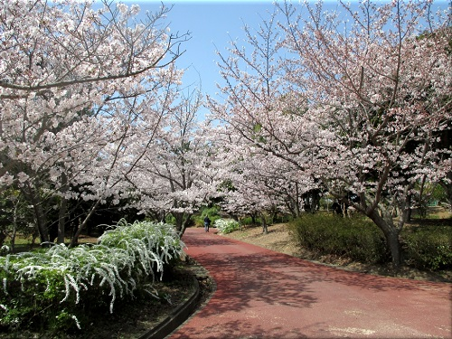 明石海浜公園の桜 7
