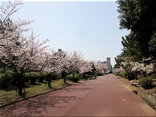 明石海浜公園の桜 9