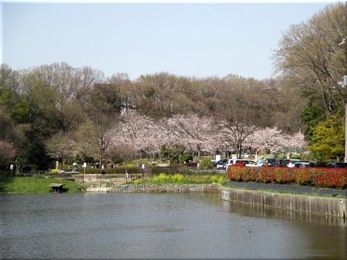 金ケ崎公園の桜 1