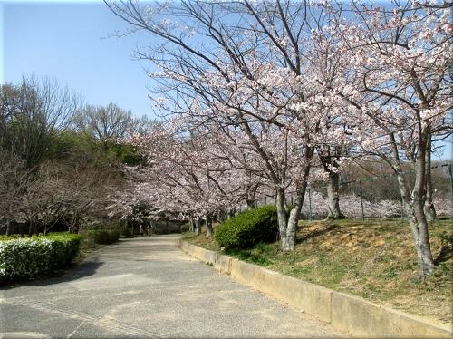金ケ崎公園の桜 3