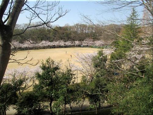 金ケ崎公園の桜 4