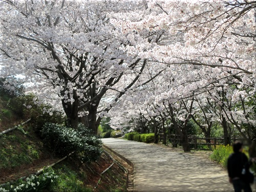 金ケ崎公園の桜 5
