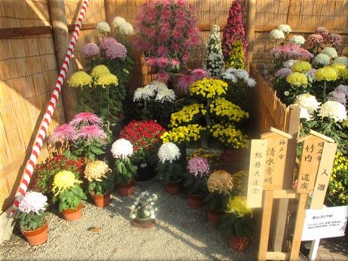 明石公園菊花展覧会 15