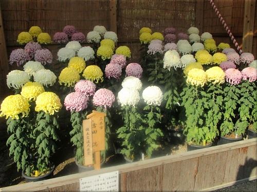 明石公園菊花展覧会 8