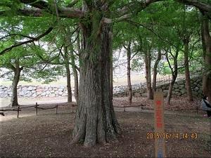 明石公園のラクウショウの木