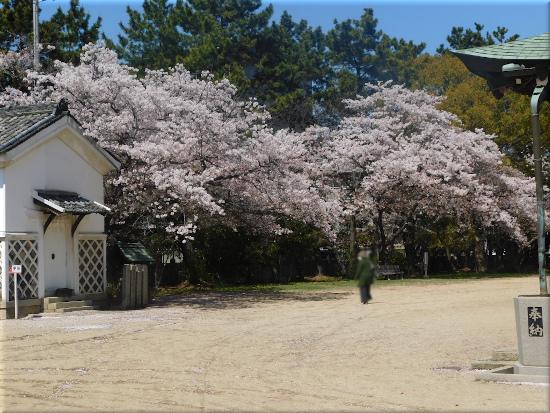 御厨神社 桜6