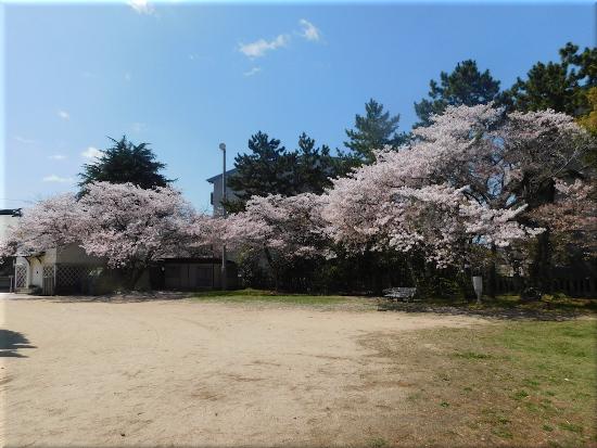 御厨神社 桜7