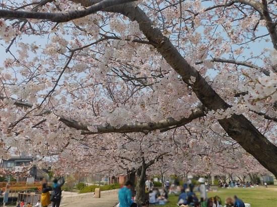 中尾親水公園 桜7