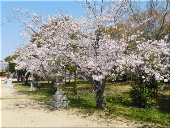 大窪八幡宮 桜の花1