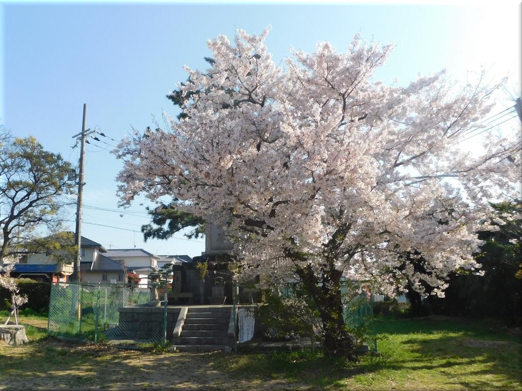 住吉神社(大久保町) 桜3