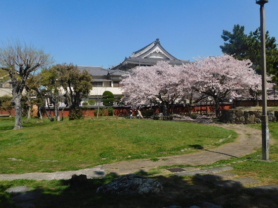 二見横河公園 桜2
