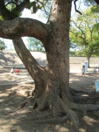 明石公園 巨木 2