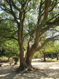明石公園 巨木 3