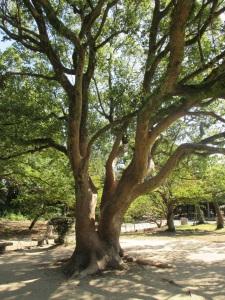 明石公園一の巨木