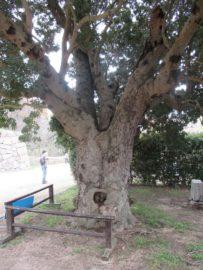 巽櫓の横にある巨木