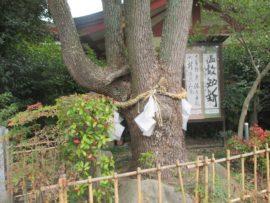 稲爪神社 ご神木