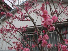 大蔵院 桜の木