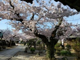 大蔵院 桜